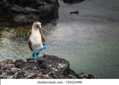 Blue-footed Boobies at the lava tunnels of Isabela Island, Galapagos Islands, Ecuador