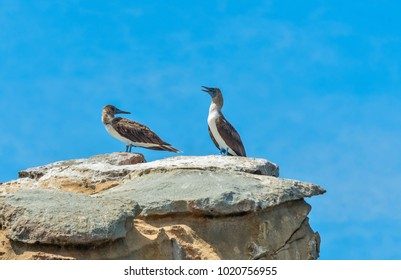Blue-footed Boobies,  on the rocks on the coast of the Pacific Ocean.