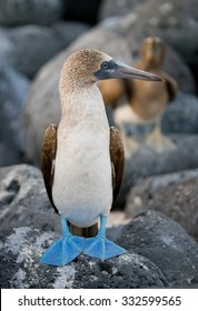 Blue-footed boobies sitting on a rock. Close-up. Galapagos. An excellent illustration.