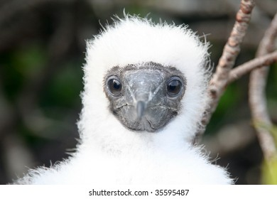 blue-footed booby baby bird