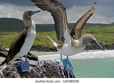 Blue-footed booby flushing up. San Cristobal island, Galapagos