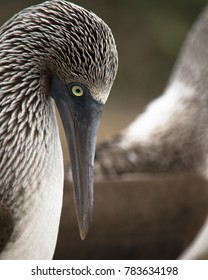 Blue-Footed Booby - Galapagos, Ecuador