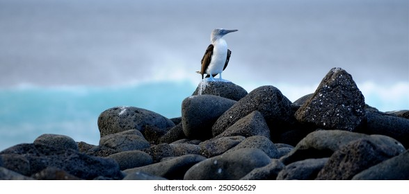 Blue-footed booby at Galapagos Islands. Ecuador