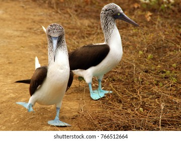 The Blue-Footed Booby in Isla De La Plata, Ecuador