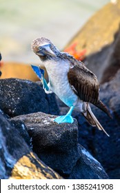 Blue-footed booby in mating ritual on a rock in the Galapagos Islands, Ecuador