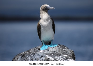 Blue-footed booby on a rock, North Seymour, Galapagos, Ecuador