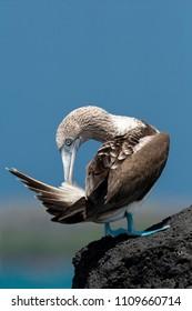 Blue-footed Booby (Sula nebouxii) in Galapagos Islands, Ecuador