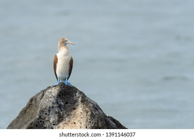 Blue-footed Booby (Sula nebouxii) - On the Rocks
