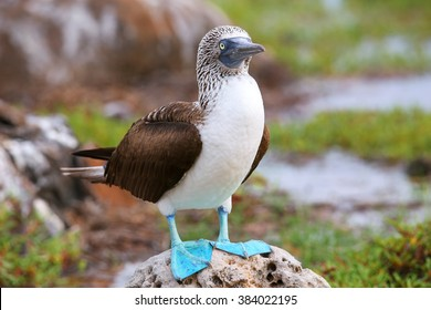 Blue-footed Booby (Sula nebouxii) on North Seymour Island, Galapagos National Park, Ecuador
