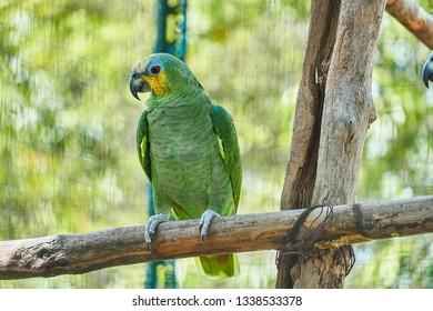 Blue-Fronted Amazon (Amazona aestiva xanthopteryx) Guyana, South America