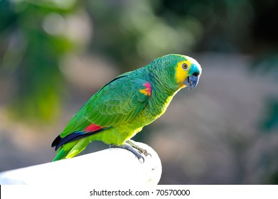 Blue Fronted Amazon Images Stock Photos Vectors Shutterstock