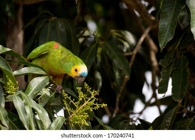 Blue-fronted Amazon parakeet eating in a tree