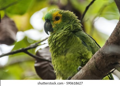 Blue-fronted Parrot (Amazona aestiva) photographed  in Sooretama, Espirito Santo - Southeast of Brazil. Atlantic Forest Biome.