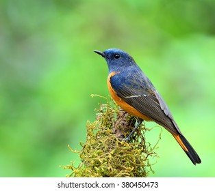 Blue-fronted redstart (Phoenicurus frontalis) the beautiful blue bird with orange belly perching on the mossy stick showing its side feathers profile on nice green background