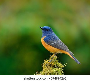 Blue-fronted redstart (Phoenicurus frontalis) the colorful bird perching on top of the mossy spot on green blur background, the amazing blue bird