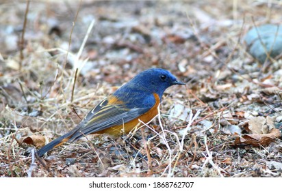 Blue-fronted redstart (Phoenicurus frontalis) in Sattal, Eureka Forbes, India