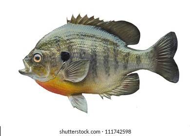 Bluegill sunfish isolated on white