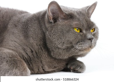 Blue-gray cat with yellow eyes