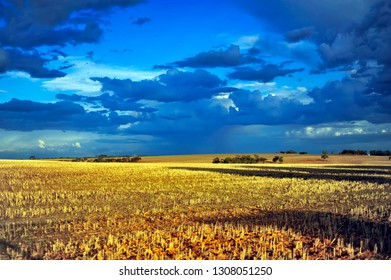 Blue-Gray Clouds, with Bright Golden  Sunlight, on Wheat Stubble. Golden-Yellow Coloured Wheat Stubble, Finished Harvest.