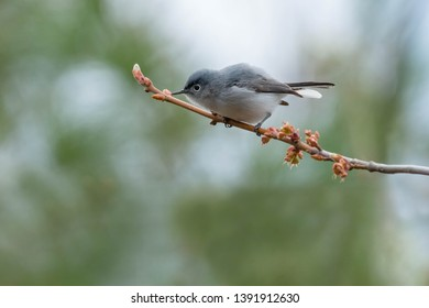 Blue-gray Gnatcatcher perched on a branch looking for bugs to eat. Ashbridges Bay Park, Toronto, Ontario, Canada.