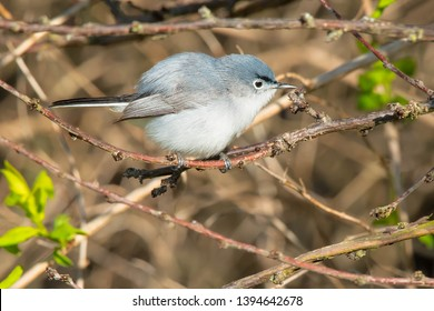 Blue-gray Gnatcatcher perched on a branch looking for a bug.Ashbridges Bay Park, Toronto, Ontario, Canada.