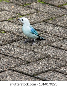 Blue-gray Tanager sitting on pavement in Costa Rica