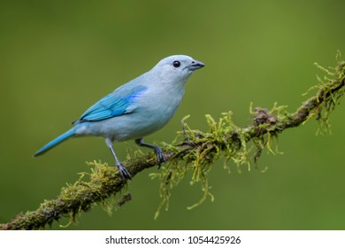 Blue-gray Tanager - Thraupis episcopus, beautiful colorful blue perching bird from Costa Rica forest.