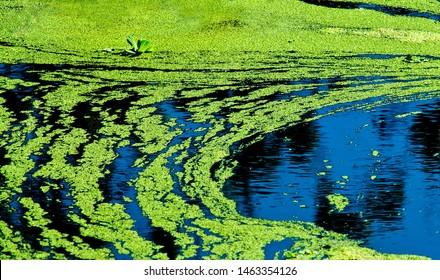 Blue-Green Algae or pond scum, cyanobacteria  harmful algae.