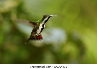 Blue-green, caribbean hummingbird, female of Black-throated Mango, Anthracothorax nigricollis, hovering in the air, Main Ridge Forest Reserve, Tobago island. Trinidad & Tobago.