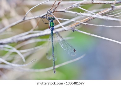 A blue-green damselfly with red eggs hanging on a dry herb (insects of Western Siberia).