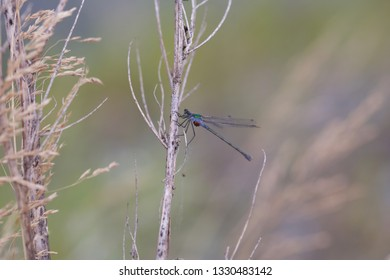 A blue-green damselfly with tiny red eggs on a dry herb (insects of Western Siberia).