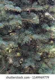 Bluegreen Pine Tree
