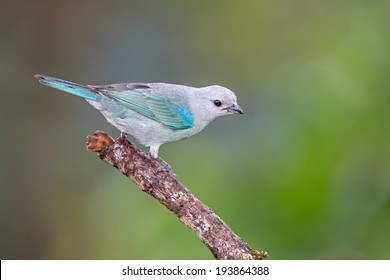 A Blue-grey Tanager on a perch in the Caribbean Rainforest, Costa Rica