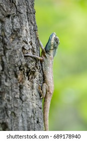 Blue-headed lizard climbing a tree