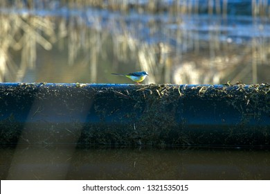 Blue-headed Wagtail on a pipe in brook Old Deep in Druifzand, the Netherlands