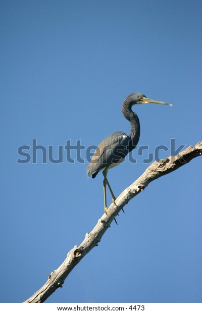 blueish-grey crane perched on extended dry branch