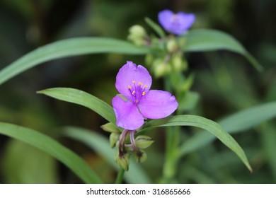 """Bluejacket"" flower (or Ohio Spiderwort) in Innsbruck, Austria. Its scientific name is Tradescantia Ohiensis, native to North America."