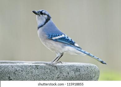 Blue-Jay at the Birdbath