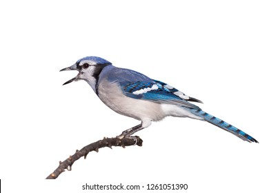 A bluejay, with its black beak wide open, screams while perched on a branch, white background.