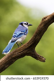 Bluejay (Cyanocitta cristata) perched on a branch with a green background.