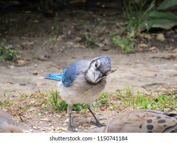 Bluejay eating birdseeds, close up