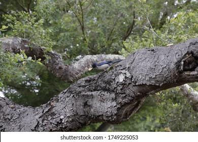 Bluejay frisst Erdnüsse auf einem alten Baum