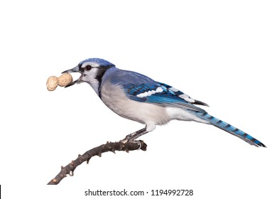 A bluejay eats a peanut while perched on a branch, white background.