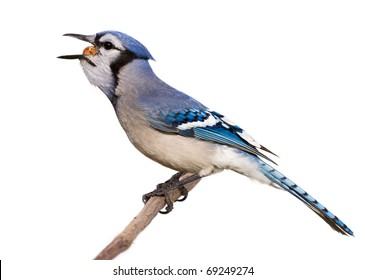 Isolated Jay Images Stock Photos Vectors Shutterstock