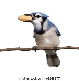 bluejay holds a prize peanut in its beak. straight on view of a bird, head tilted to side breast and underside of tail in full view. bluejay perched on a branch with a white background