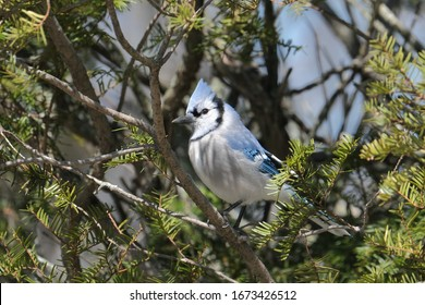 A bluejay perched on a branch.