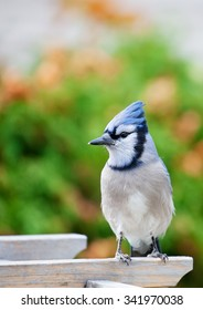 A bluejay perched on a garden arbor in Autumn.