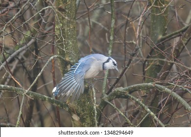 Bluejay sitting on branch