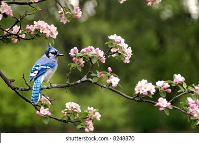 a bluejay sitting on a limb of a cherry blossom tree in the spring in indiana