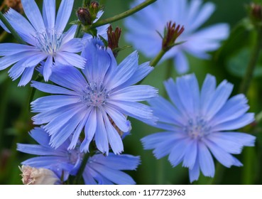 blue-lilac flowers chicory close-up of five pieces, field plants in the evening dark light, dark green foliage on the background